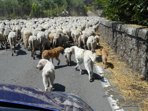 Sheep-jam-on-the-way-up-Mt-Etna-in-Sicily